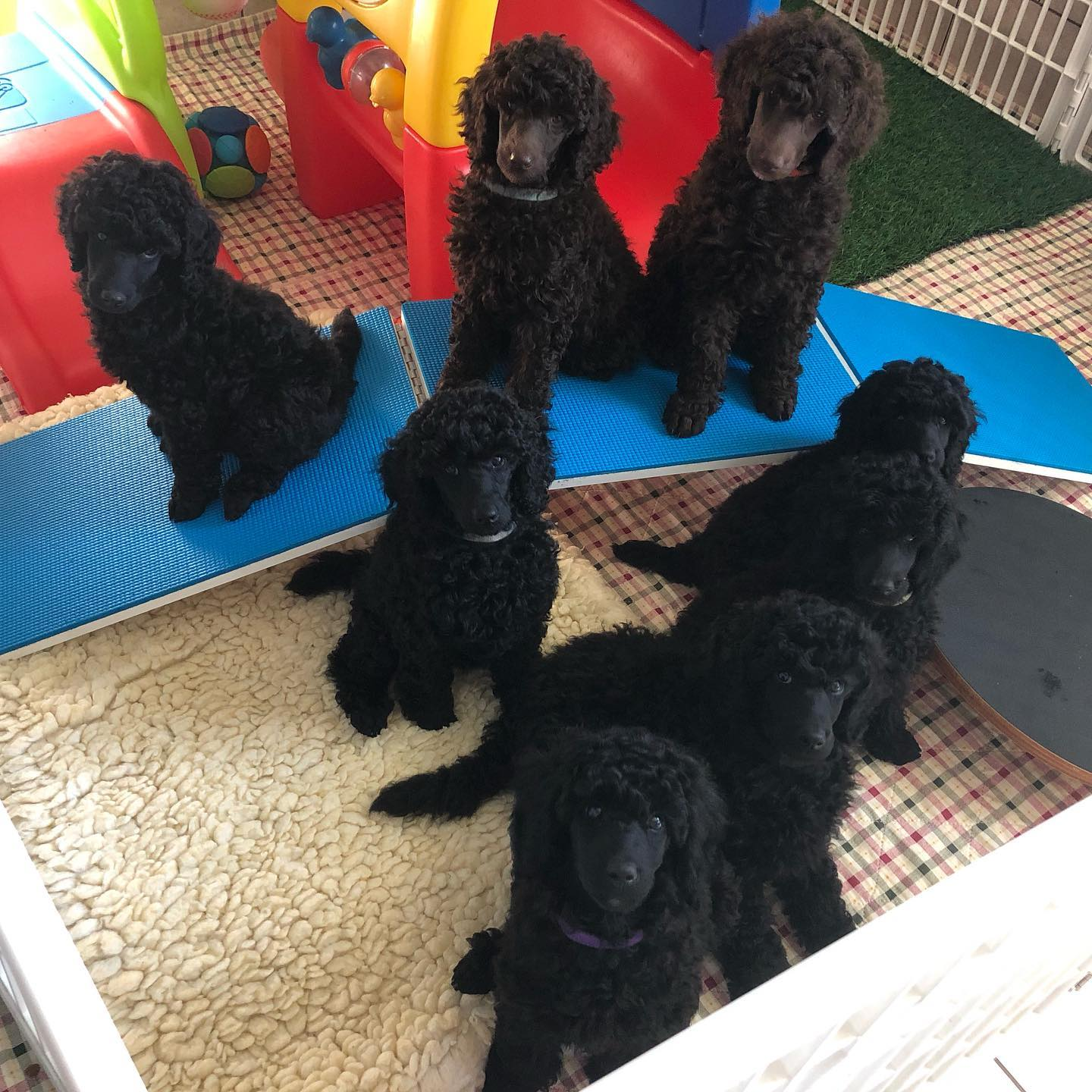 Puppy Culture Home Breeder Medium Poodle Puppies
