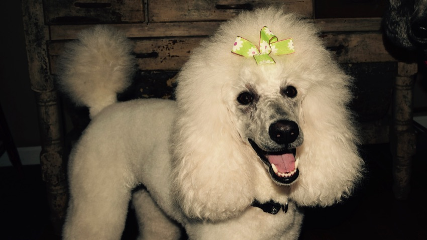 White moyen poodle, Breezy, freshly groomed and smiling in my living room