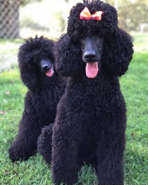 Black moyen poodle, Kiaya, smiling with her daughter, Anise.