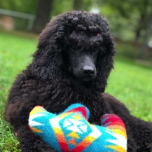 Black seal moyen poodle, Anise, laying in the green grass with a toy.