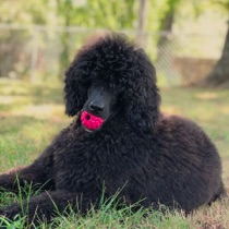 Black seal moyen poodle, Anise, sitting in the grass with a pink raspberry ball in her mouth.