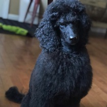 Black seal moyen poodle, Anise, sitting in the living room.