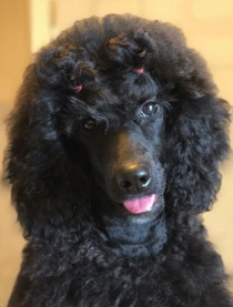 Black seal moyen poodle, Anise, sticking tongue out with cute devil horns.