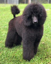 Black seal moyen poodle, Anise, freshly groomed in an AKC poodle puppy cut.