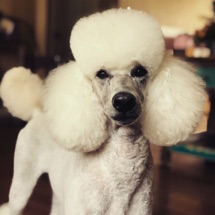 White moyen poodle, Breezy, freshly groomed with fluffy ears and topknot