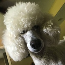 White moyen poodle, Breezy, face shot looking down at me