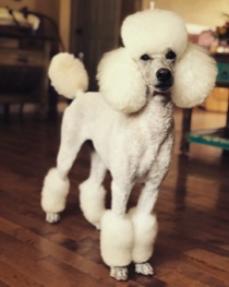 White moyen poodle, Breezy, freshly groomed in a Miami cut