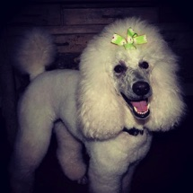 White moyen poodle, Breezy, freshly groomed and smiling