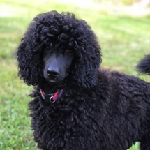 Close up picture of black seal moyen poodle, Anise.