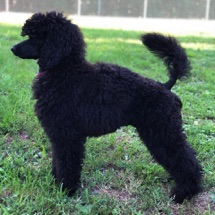 Stacked picture of black seal moyen poodle, Anise, at almost four months old.