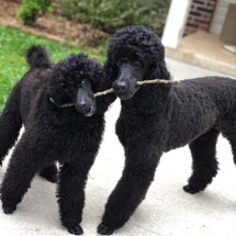 Black moyen poodles, Kiaya and her daughter Anise, playing tug with a stick.