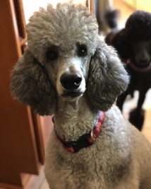 Close up picture of Jade, silver standard poodle female.