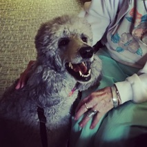 Silver standard poodle, Jade, smiling with a resident on a therapy dog visit to the nursing home.