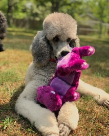 Silver standard poodle, Jade, with purple toy on green grass.