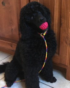 Baby Anise, black seal moyen poodle, with a colorful leash on her neck and raspberry ball in her mouth.