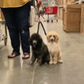 Public leash work with two moyen poodle puppies at Lowe's