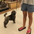 Public leash work with a brindle poodle puppy at Tractor SUpply Company