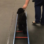 Anise, moyen poodle puppy, walking through the ladder at puppy class