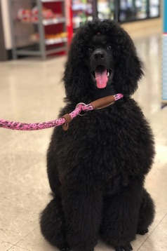 Black seal moyen poodle puppy, Anise, smiling on leash inside Walgreens.