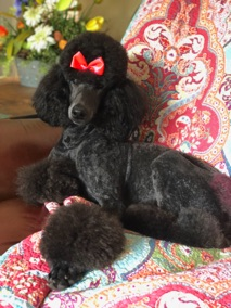 Blue moyen poodle, Waverly, freshly groomed and sitting on the couch.
