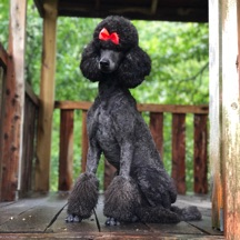 Blue moyen poodle, Waverly, sitting in the treehouse on a rainy day.