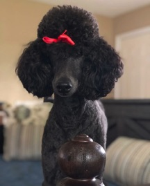Blue moyen poodle, Waverly, standing on the day bed.