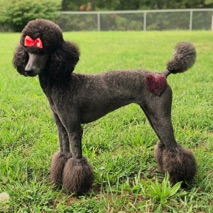 Blue moyen poodle, Waverly, in a fresh Miami cut with a pink heart near her hip.