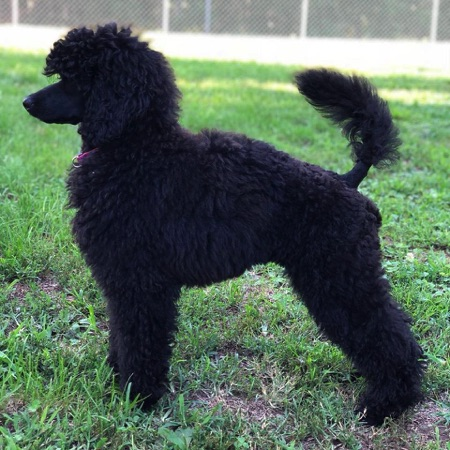 Noir Poodles Lebanon Mo 65536 Medium Poodles