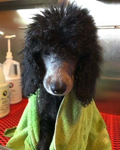 Silver moyen puppy wrapped in a green towel after a bath