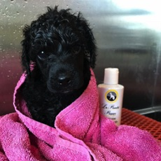 Black moyen puppy wrapped in a pink towel after a bath