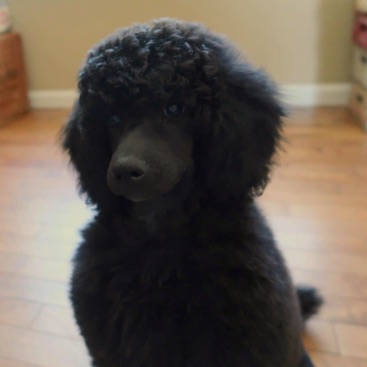 Close up picture of black moyen poodle puppy