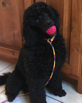 Baby Anise, black moyen poodle, with a colorful leash on her neck and raspberry ball in her mouth.