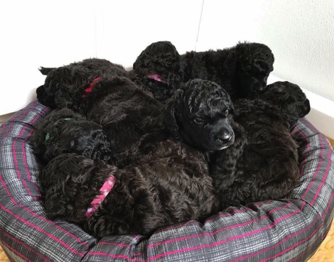 Black seal moyen poodle babies snuggled in their bed