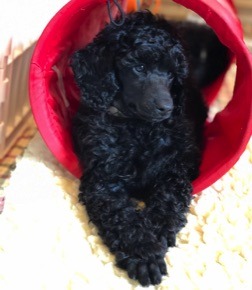 Small standard poodle babies snuggled in their bed