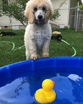 White small standard poodle puppy smiling with her paws on the kiddie pool with a yellow duck floating in front of her